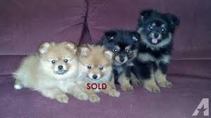 3 adorable apr pomeranian puppies 9 weeks old