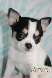 Best 25 Chihuahua Puppies For Sale Ideas On Pinterest Chihuahua