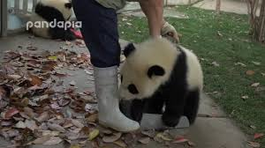zookeeper cleaning. Unique Zookeeper What Did Panda Do When Zookeeper Cleaning The Leaves Intended Zookeeper Cleaning P