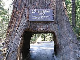 chandelier drive thru tree