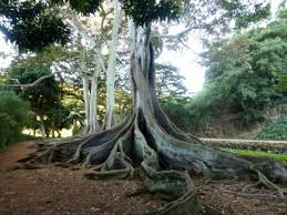 allerton garden reviews. allerton garden: morton bay fig giant roots -- aka jurassic park dinosaur egg nest garden reviews
