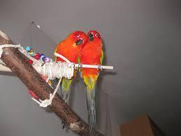 Sun Conure Mutations Parrot Forum Parrot Owners Community