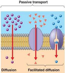 3 Types Of Passive Transport Membrane Transport System Passive And Active Transport