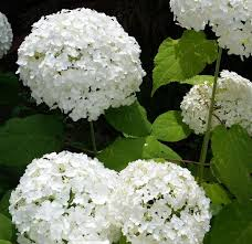 Selecting Hydrangeas For The Home Landscape Ohioline