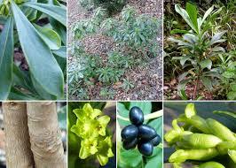Daphne laureola L. - Sistema informativo sulla flora vascolare dei ...