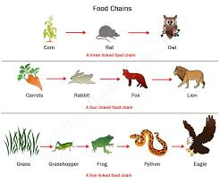 animal food chain. Interesting Food Examples For Food Chains To Animal Chain E