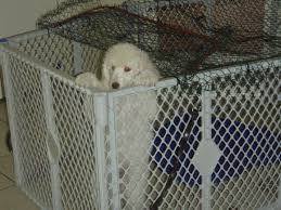 Toy Poodle Growth Chart Where To Find Puppy Growth Chart Online Page 2 Poodle