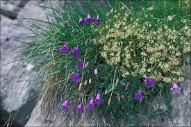 Campanula carnica; Bellflower - CalPhotos