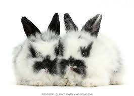 two cute black and white baby rabbits