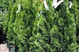 Awesome Us Photo Gallery Plants Shrubs Evergreen Arborvitae Image