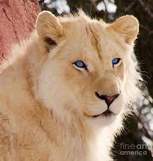 white lioness with blue eyes. Contemporary Lioness Lion Photograph  White With Blue Eyes By Les Palenik And Lioness N