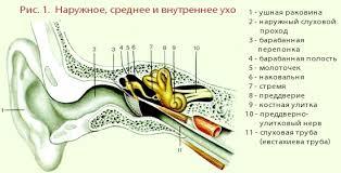Орган слуха и равновесия Ухо