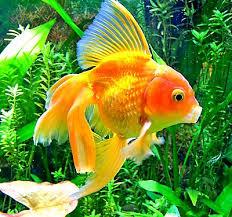 petsmart goldfish tank. Simple Petsmart How To Grow Aquatic Plants For Your Tank Intended Petsmart Goldfish A