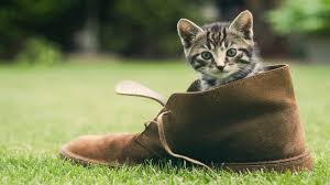 cat tigers cats pets kittens young shoe lived funny hd wallpapers cats hd 16