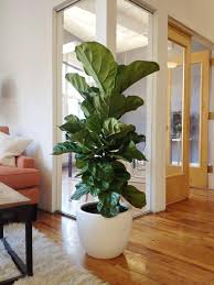 green eco office building interiors natural light. fiddle leaf fig tree from the sill for purewowu0027s nyc office green eco building interiors natural light e