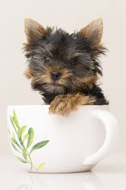 yorkie in a teacup