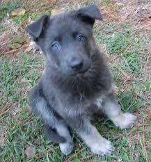 black german shepherd puppies with blue eyes. Unique Shepherd Blue German Shepherd They Have No Black Fur Love In Black Puppies With Eyes B