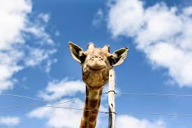 oudtsn suedafrika chandelier game lodge giraffe