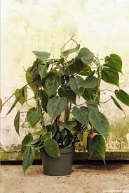 10 best low light indoor plants that