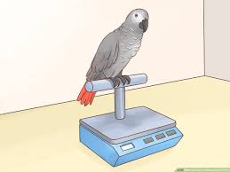 Parakeet Growth Chart How To Feed An African Grey Parrot 12 Steps With Pictures