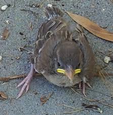 תוצאת תמונה עבור ציפורי דרור