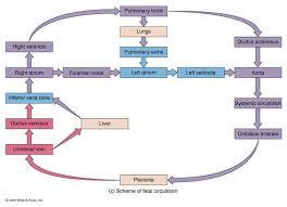 Fetal Circulation Made Easy Epomedicine