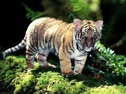 Desktop cute tiger cubs wallpapers download