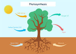 Photosynthesis Chart Worksheet Photosynthesis Free Photosynthesis Templates