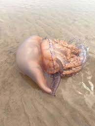 The Six Types Of Jellyfish Found In Uk Waters And What To