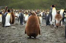 essay on penguins essay on penguins need help writing history  king penguin pictures and facts blue whale picture courtesy noaa