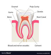 Detailed Human Tooth Anatomy Infographic Chart
