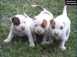 pitbull dog puppies. Fine Pitbull Dogs Picture Collection Of Puppy Terrier American Pit Bull Intended Pitbull Dog Puppies C
