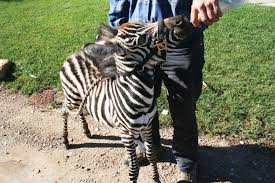 Lions and Tigers and… Zebras? Oh my!!