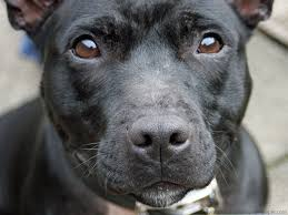 image by digital wallpapers gorgeous staffordshire bull terrier dog this dog is so cute and adorable