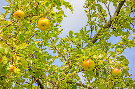 green apple fruit tree. apple tree: tree - branches with red yellow apples stock photo green fruit