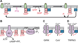 Gpcr Signaling Sensory Neurons A New Target For G Protein Signaling Elife