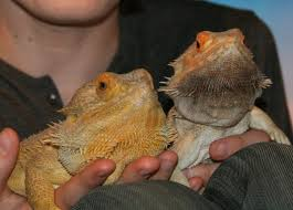 Bearded Dragon Growth From Hatchling To Adult