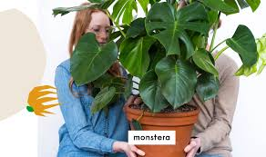 bloomscape easiest houseplants monstera