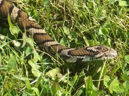 milk snake size eastern milk snake wikipedia