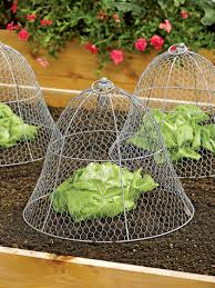how to keep squirrels out of garden. Chicken Wire Cloche Protects Vegetable Crops How To Keep Squirrels Out Of Garden