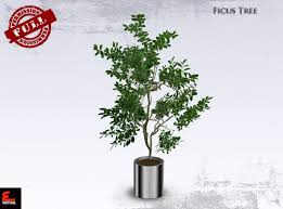 office tree. Full Perm Interior Plant Ficus Tree Office