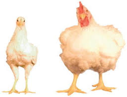 Chicken Breed Chart Pdf Breeding For Efficiency In The Broiler Chicken A Review