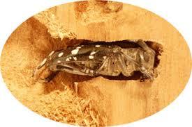 Asian Longhorned Beetle Management