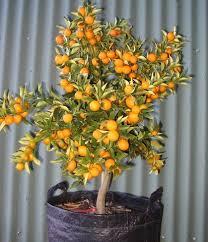 Fruiting Container Nagami Kumquat Tree LOTS Of Fruits  YouTubeKumquat Tree Not Bearing Fruit