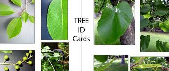 Ohio Leaf Identification Chart Leaf Tree Identification Cards Leaf Wisconsins K 12