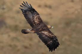 golden eagles flying. Contemporary Golden Golden Eagle Aquila Chrysaetos Flying WikiC On Eagles