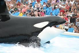 original shamu. Plain Shamu Shamu Show San Diego SeaWorld 2005  To Original O