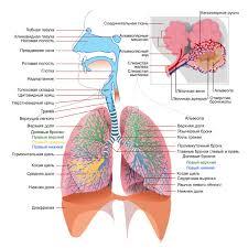 Легкие человека Схема легких и дыхательной системы человека