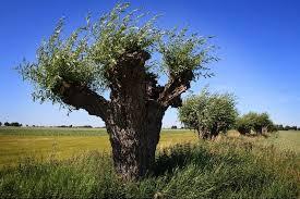 Bildresultat för pileträd korsvirkeshus skåne