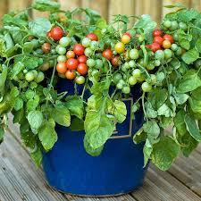 indoor tomato garden. Indoor Tomato Gardening In Garden Plant Leaves Dying .